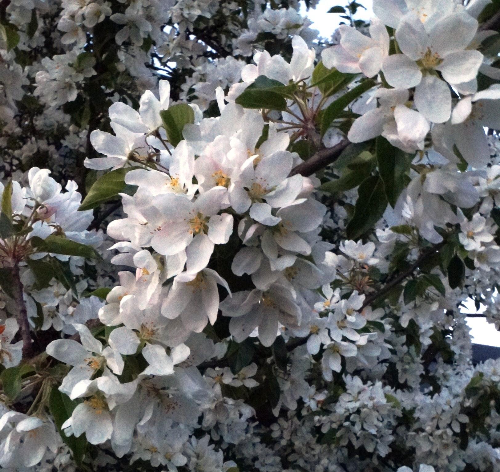 Utanför polishuset står ett vitt blommande träd. Foto: Anneli Uusitalo Vackert.Nu