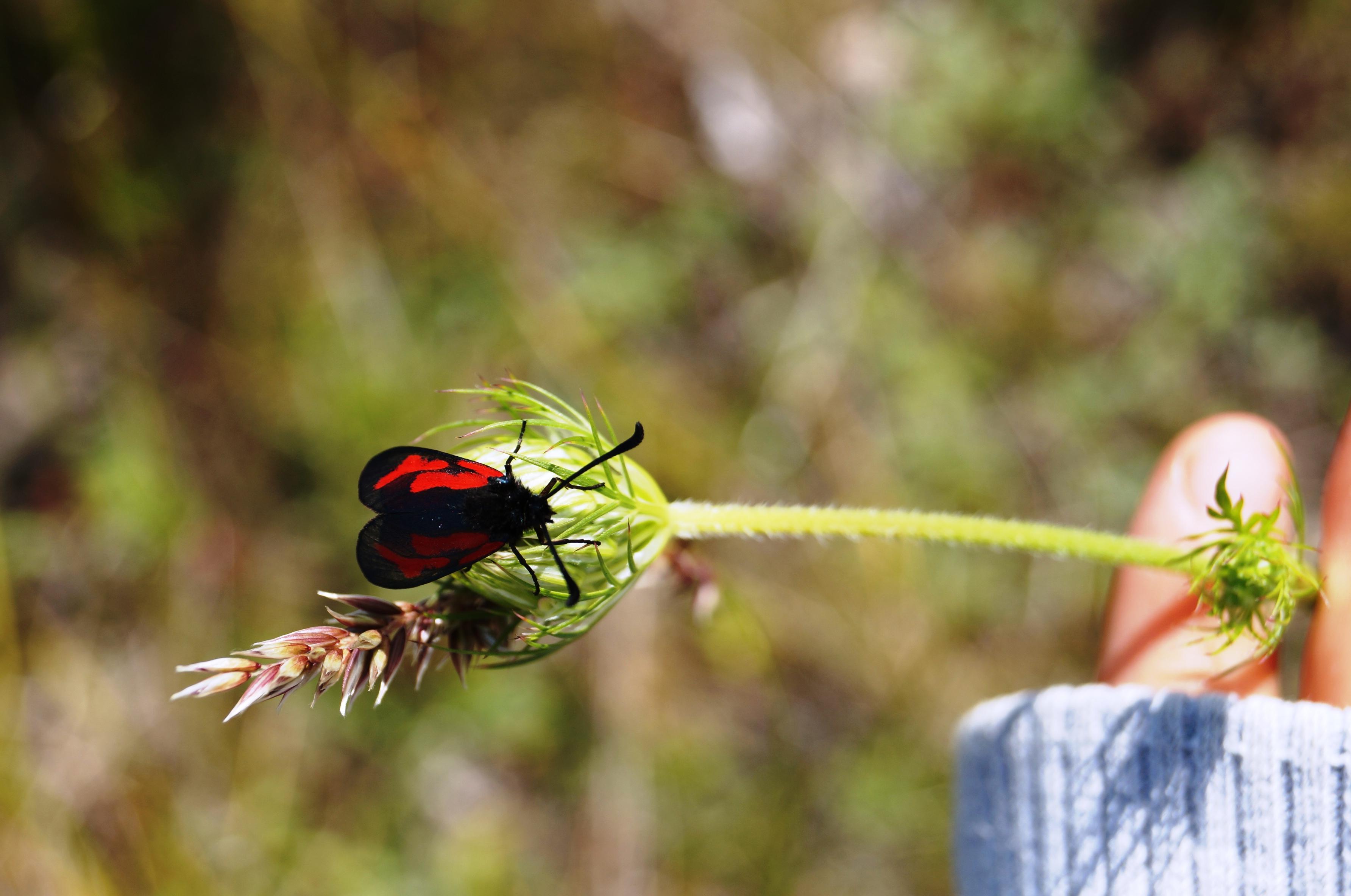 Svart och röd insekt. Foto Anneli Uusitalo, Vackert.Nu